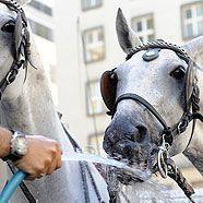 Kutscher tränkt ein Pferd am Stephansplatz