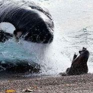 Robbe gewinnt Wal-Kampf