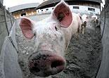 Schweinegrippe breitet sich in Südosteuropa aus