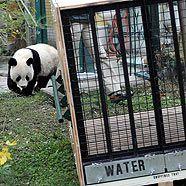 Fu Long beim Training für die Übersiedlung in seiner Transportkiste