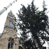 Kärntner Christbaum vor dem Wiener Rathaus aufgestellt
