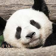 Fu Long übersiedelt in zwei Wochen nach China