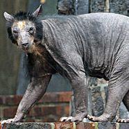 Brillenbären-Damen haben mysteriösen Haarausfall