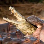 Krokodil von Nilpferden getötet