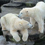 Eisbär-Zwillinge Arktos und Nanuq feiern zweiten Geburtstag