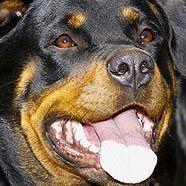 """Für Rottweiler wird laut vorläufiger Liste ein """"Hundeführschein"""" nötig"""