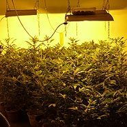 Cannabis-Plantage in Mödling
