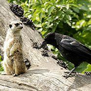 Eine Krähe und ein anderer Zoobewohner.