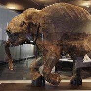 Ältestes Mammut-Baby ausgestellt