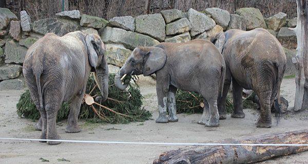 Die drei Elefantinnen ließen sich den Christbaum in Schönbrunn richtig schmecken