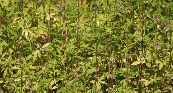 Im südlichen Niederösterreich wurden 60 Cannabispflanzen abgeerntet
