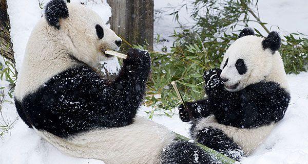 Klein Fu-Hu knabbert mit seiner Mutter genüsslich auch im Schnee Bambus