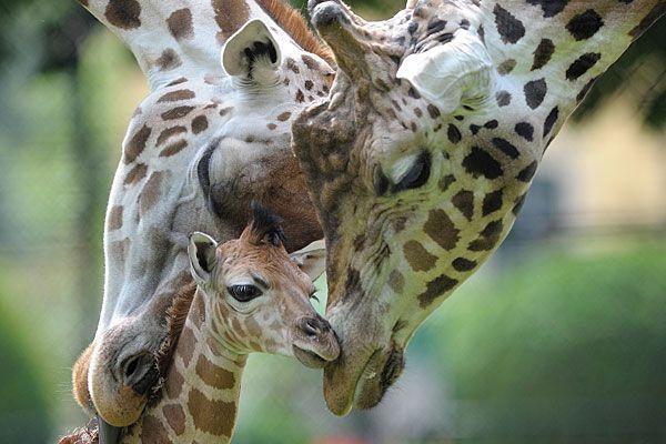 Das Giraffen.Baby Arusha ist am Samstag im Tiergarten Schönbrunn gestorben.