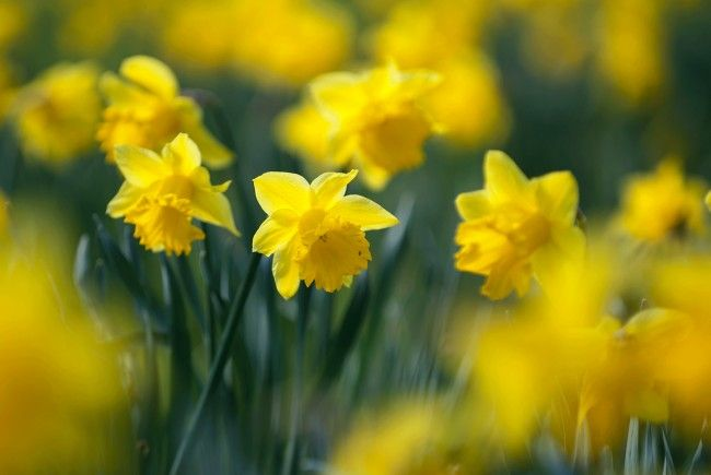 Ein gelbes Meer von Narzissen erwartet die Besucher in den Blumengärten Hirschstetten.