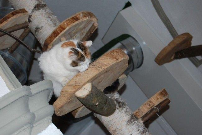 Eine der sechs Katzen im neuen Katzencafe Neko im 1. Bezirk