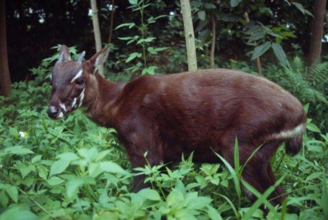 Auch wenn es einer kleinen Antilope mit zurückgebogenen Hörnern ähnelt, wird es mit dem sagenumwobenen Einhorn in Verbindung gebracht: das Saola.