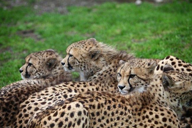 Zwei Geparden aus Zoo Salzburg ausgebüxt: Entwarnung