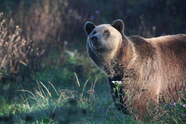 Die Bauern sind sich einig: der Bär muss weg.