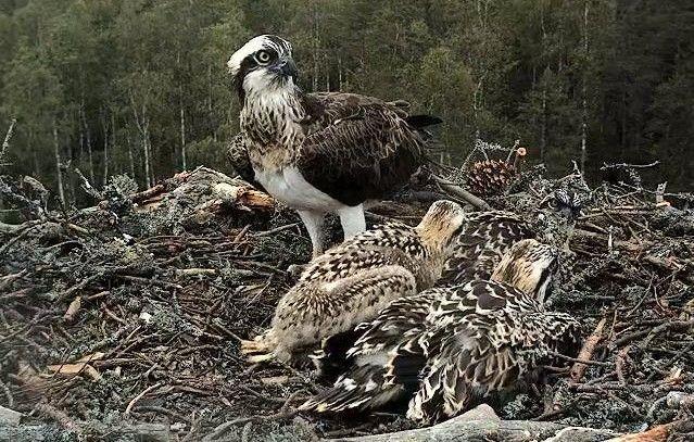 Fischadler-Familie in ihrem Nest in Estland.