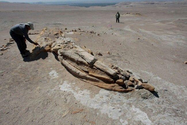 Forscher bargen in Peru Millionen Jahre alte Überreste.