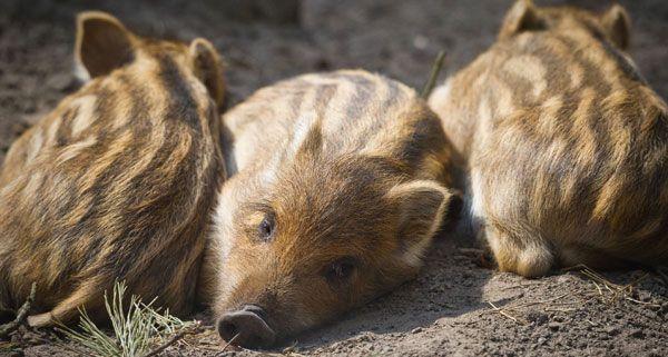 Die Wildschweinpouplation in Wien soll reduziert werden, die Stadt Wien stellt mehr Jäger ein.
