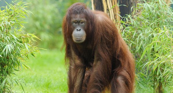 Am Montag ist es im Tiergarten Schönbrunn bei Orang-Utan-Weibchen Sol zu einer Totgeburt gekommen.