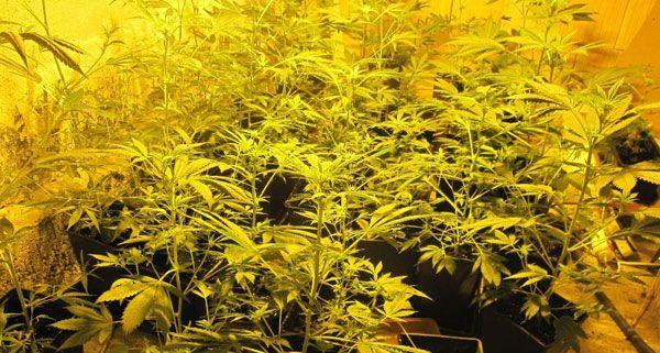 Am Montag wurden in Fischamend 37 Cannabispflanzen sichergestellt.