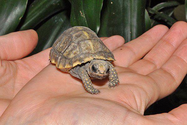 Eines der Waldschildkrötenbabys