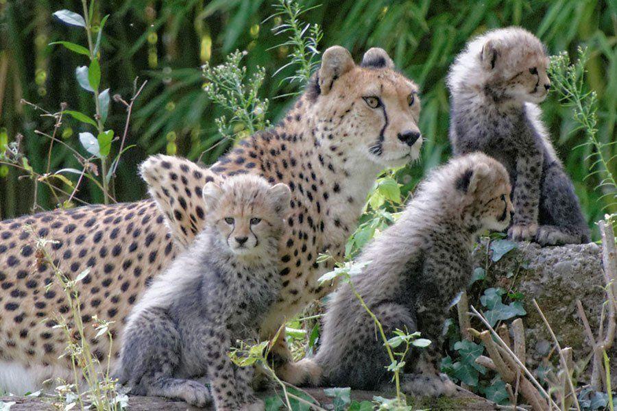 Jüngste Geparden-Drillinge zeigen sich Schönbrunn-Besuchern