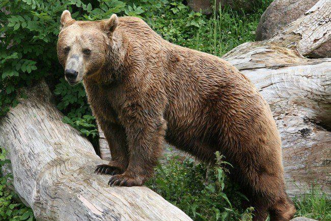 Wanderer von Braunbär getötet