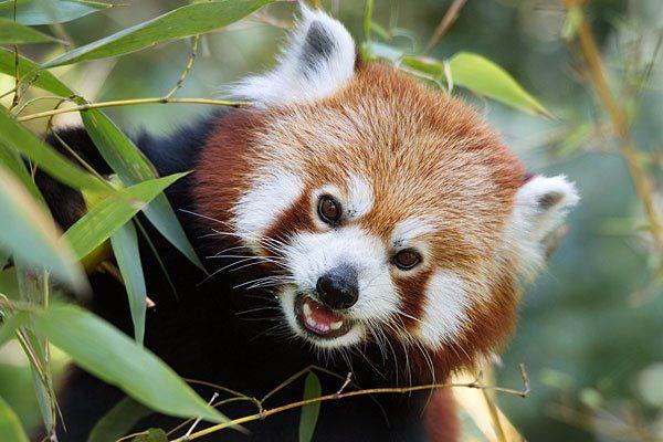 Dem Roten Panda ist in Schönbrunn ein Wochenende gewidmet