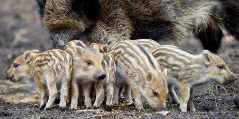 Qequälte Frischlinge im Lainzer Tiergarten: Buben vor Gericht