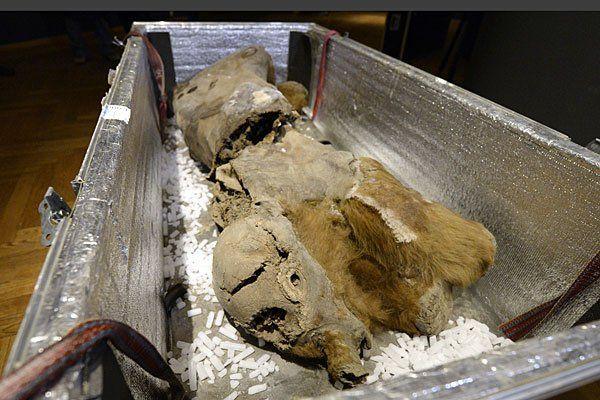 """Die tiefgefrorene 45.000 Jahre alte Mumie des weiblichen Mammuts """"Khroma"""" wird für die Ausstellung im NHM ausgepackt"""