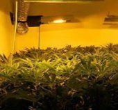 Professionelle Cannabis- anlage gefunden