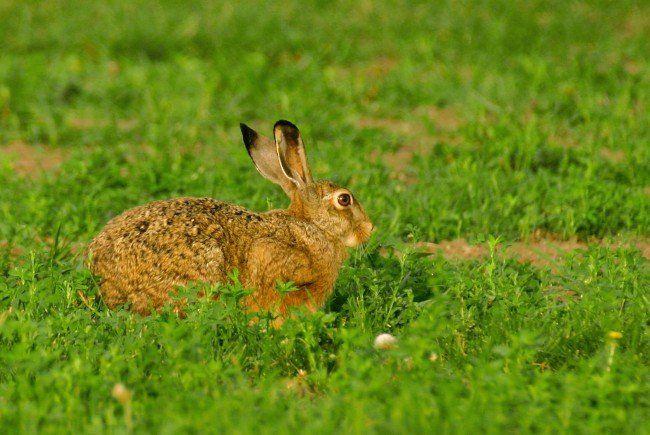 WTV appelliert an Bevölkerung - mehr Rücksicht auf Wildtiere