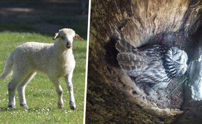 Einige der Bewohner im Hirschstettner Zoo: Walachenschafe und Habichtskäuzchen