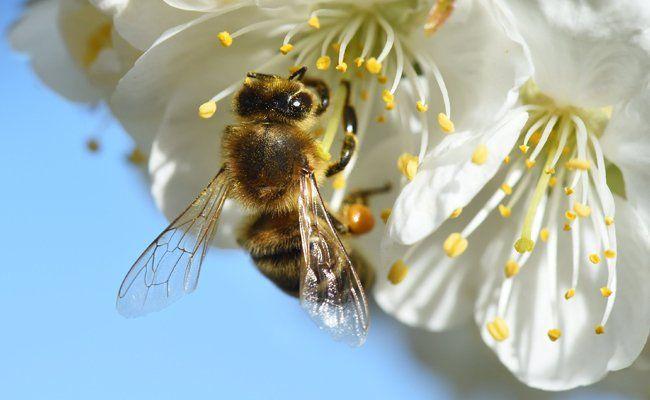 Wiener Bienentag: Am 8. Mai wird am Rathausplatz ein Fest zu Ehren der Bienen abgehalten