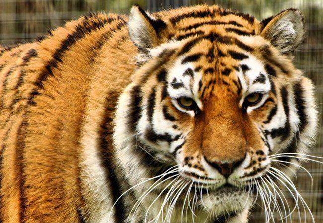 Wann frisst dieser Tiger die Familie Putz?