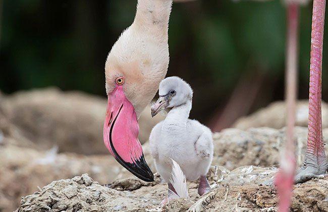 Noch nicht rosa: die Flamingo-Babys in Schönbrunn