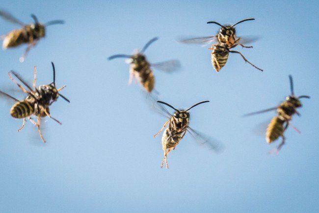 Wespen lassen sich in diesem Sommer häufiger blicken
