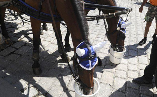 Durstige Fiaker-Pferde in Wien