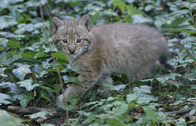 Die kleinen Luchse sind derzeit etwa so groß wie Hauskatzen - und mindestens so neugierig
