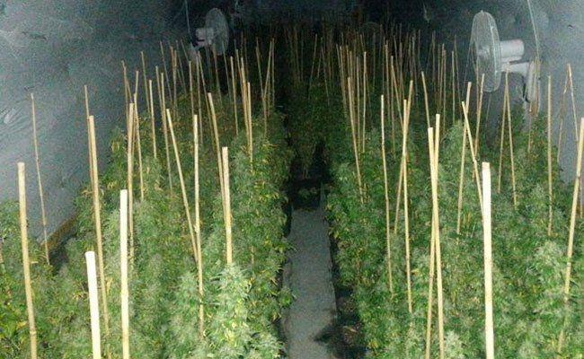 Mehr als 700 Cannabis-Pflanzen hat die Polizei sichergestellt.