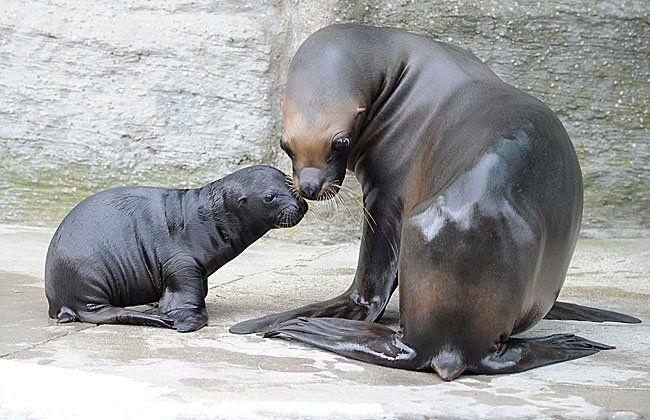 Das Mähnenrobben-Baby mit seiner Mutter in Schönbrunn