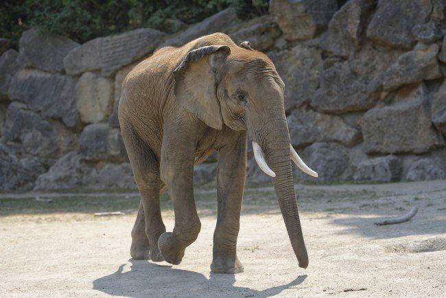Elefantenbulle Kibo übersiedelt von Wien nach Erfurt.