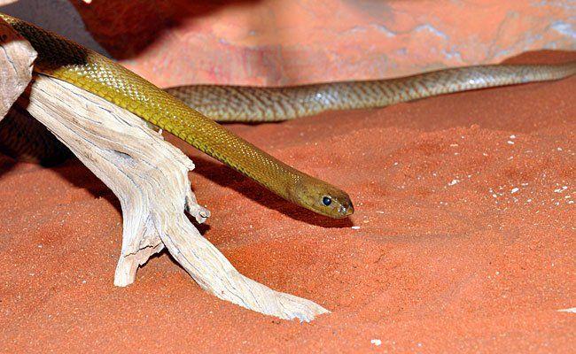 Einer der neuen Stars der wiedereröffneten Giftschlangenabteilung: der Inland-Taipan