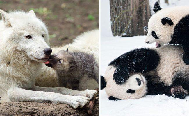 Tierische Mutterliebe, wie sie im Tiergarten Schönbrunn gelebt wird, ist nun in einem Kalender zu bewundern