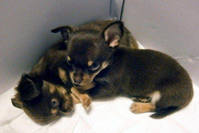 Diese jungen Chihuahuas wurden zum Kauf angeboten.
