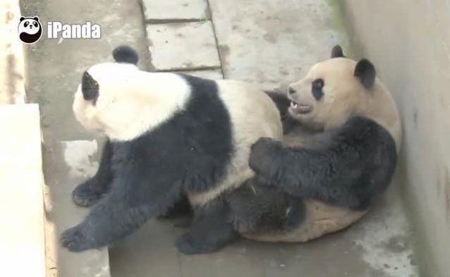 Sehr abwechslungsreich vergnügten sich die Panda-Bären.