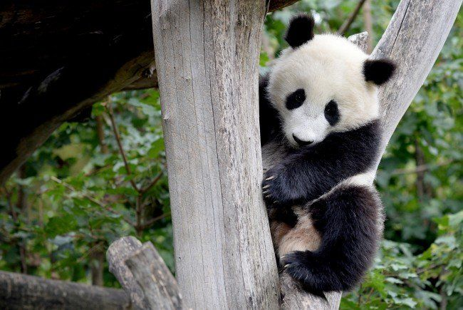 Für Fu Bao beginnt ein neuer Lebensabschnitt in China.